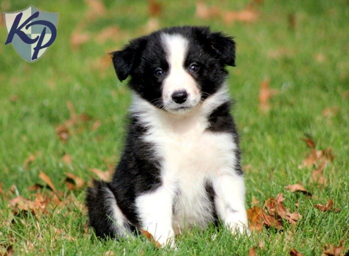 Scruffy – Border Collie Puppy www.keystonepuppies.com #keystonepuppies #bordercollie