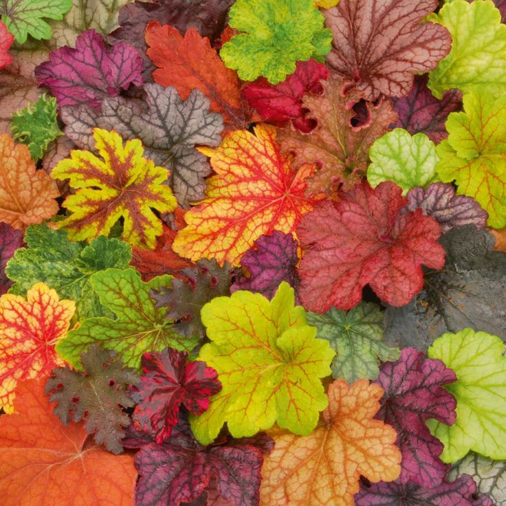 Heuchera 'Patchwork' Mix - Perennial & Biennial Plants - Thompson & Morgan