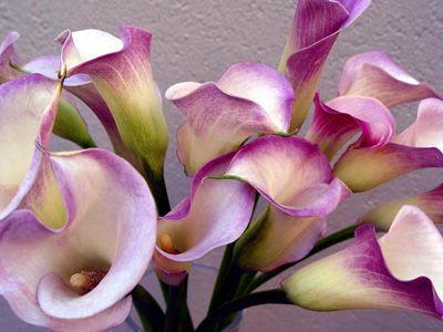 calla lily -Like BRIGHT fuschia/purples here!