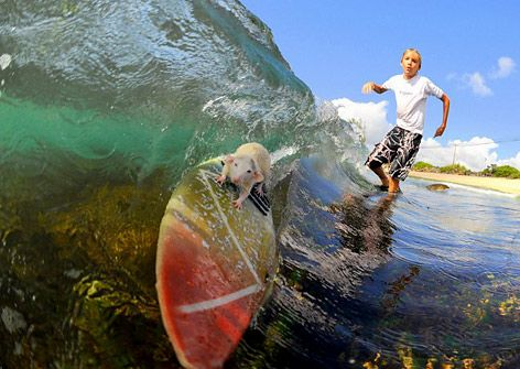Surfer MouseMice, Surf Art, Surf Rats, Surf Up, Funny Animal Pictures, My Boys, Surfart, Tofu, Waves