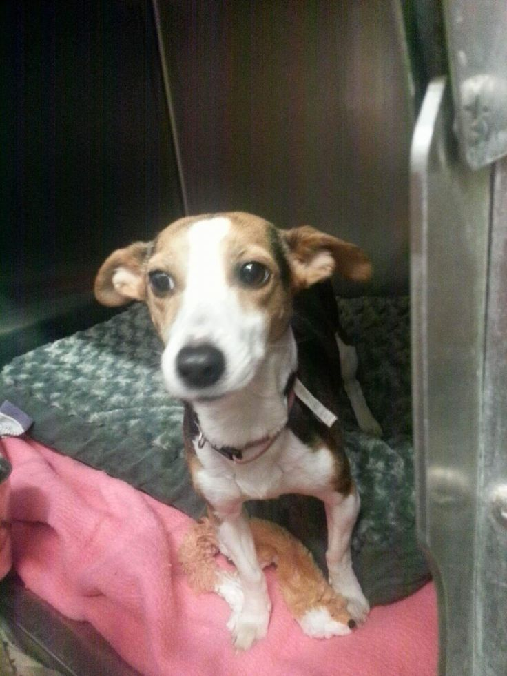 Raggle dog for Adoption in Detroit Lakes, MN. ADN522398