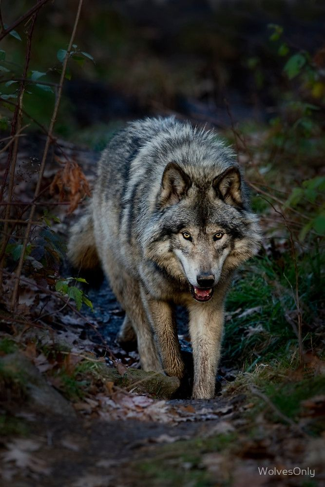 Sana- An average timber wolf, but for some reason doesn't think that she is. She proves this when she defeats the Sepent from River Valley.