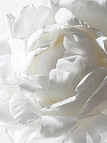 Pure white peony, from Avenue Fleur. Want this in my front flower bed