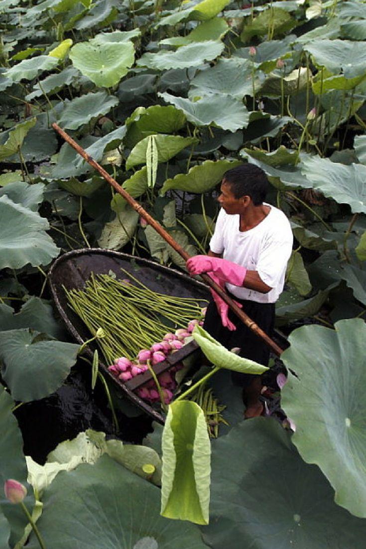 Hanoi. Wietnamczyk wyruszył na łowy po kwiaty lotosu. http://www.tvn24.pl/zdjecia/zdjecie-dnia,31565,lista.html
