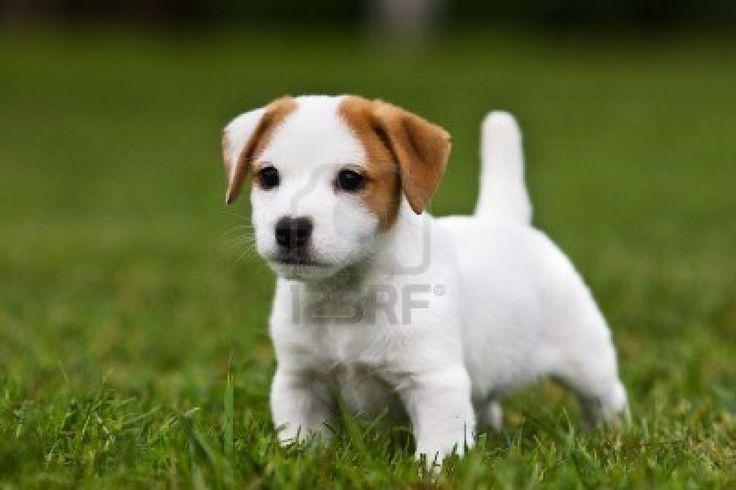 Black Beagle Terrier Mix Puppies