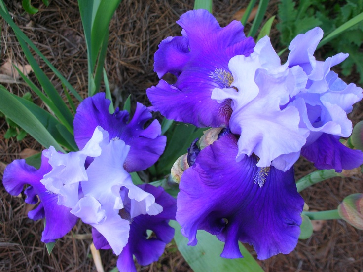 iris. These always remind me of my momma, she loves them:-)