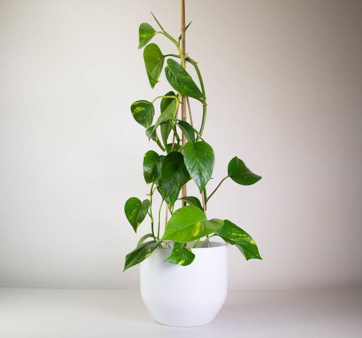 Exceptional Golden Pothos In Our Chic White Pot Is A Great Option If Youu0027re Looking For  A Lush Trailing Plant.