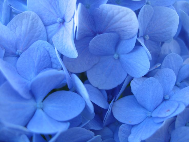 Big-Leaf Hydrangea: Hydrangea macrophylla 'Nikko Blue' [Family: Hydrangeaceae] - Petals exhibiting the 'blueing' effects of aluminium sulfate solution.