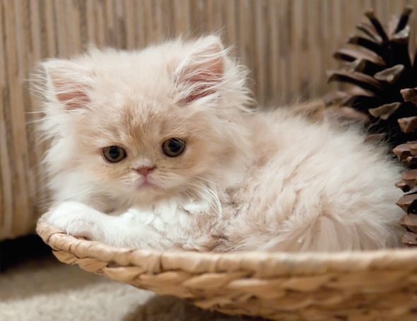 A Persian cutie!-- love their little flat faces!!! Ha!