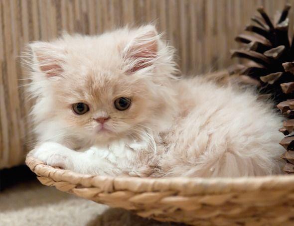 A Persian cutie!