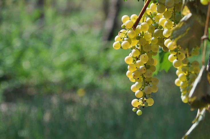 Grazie al gran caldo che ha maturato le nostre uve, sul Lago di Garda è già cominciata la vendemmia. E voi che vino preferite del nostro lago?  - Chiaretto  - Bardolino  - Corvina in purezza  - Custoza  - Lugana    @LagoGardaPoint #LagodiGarda