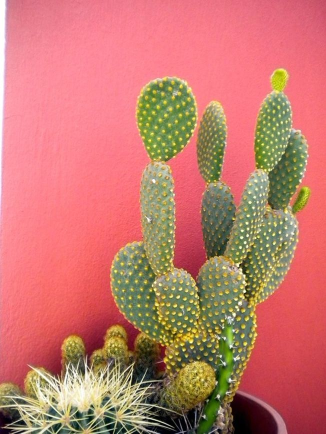 how to take care of a coral cactus