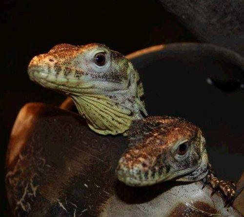 The Easter Dragon! | Cute Little Beasties | Pinterest ... |Cute Baby Komodo Dragons