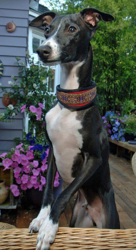 Holden the Italian Greyhound