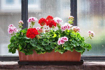Pelargonie bezesporu patří mezi nejoblíbenější truhlíkové květiny, které zdobí nejeden balkon či okno. Není divu. Důvodů je hned několik. Nejen skvěle vypadají a jsou odolné, takže přežijí i v méně vhodných podmínkách, ale i kvetou od května až do prvních mrazů. I muškáty však potřebují vaši péči, aby byly nejkrásnější co nejdéle.