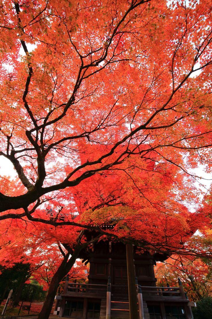 真っ赤な紅葉に覆われた京都真如堂の三重塔