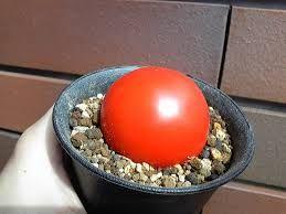 Resultado de imagen para conophytum burgeri
