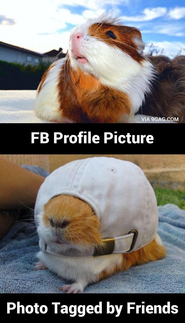 Guinea Pig tells us the truth in Facebook   Sleep ...