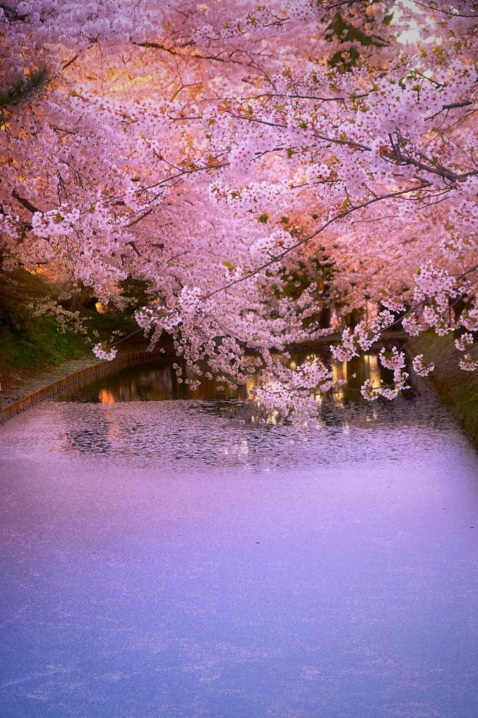 Cherry Blossom, Japan, 桜 Cherry Petals 花筏