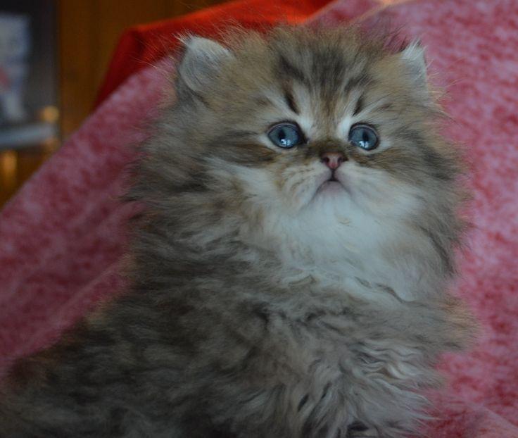 white kittens for free