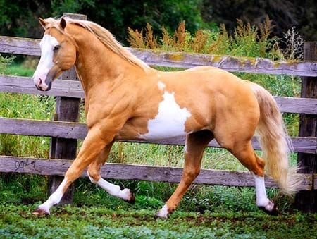 Palomino APHA Paint Stallion, 2004 Palomino Overo Halter bred stallion in Washington. DreamHorse.com is the premier horse classifieds site with horses for sale, lease, adoption, and auction, breeding stallions, and more.