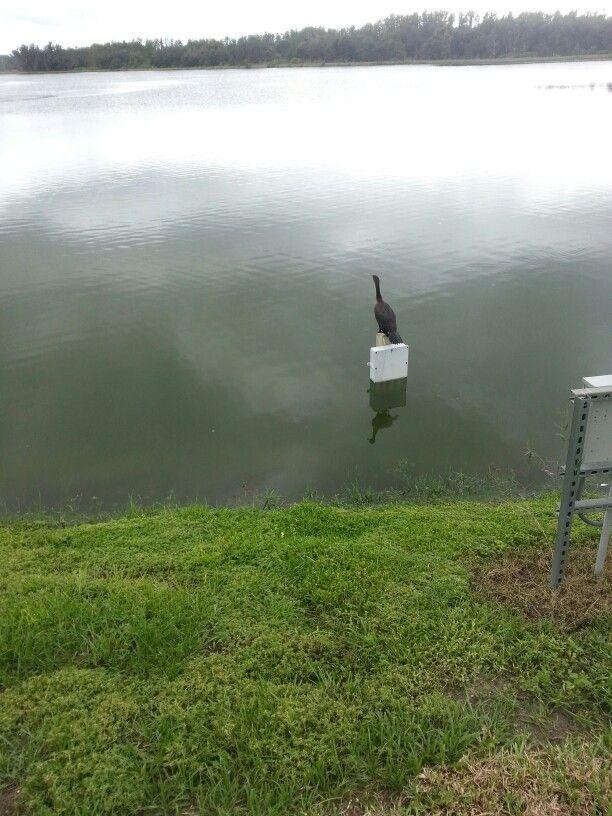 Extrañando a su amada, en un dia Gris, el pato canadiense son super fieles.