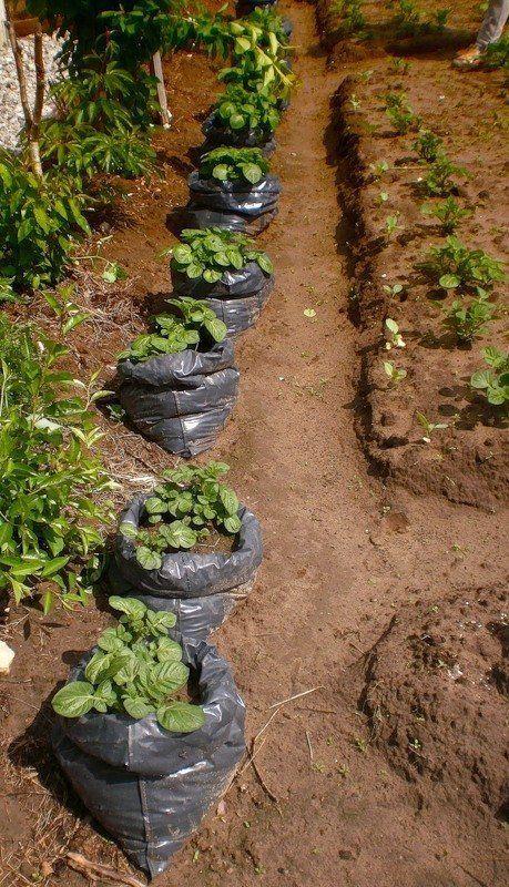 Выращивание картофеля возможно даже тогда, когда нет места под гряды