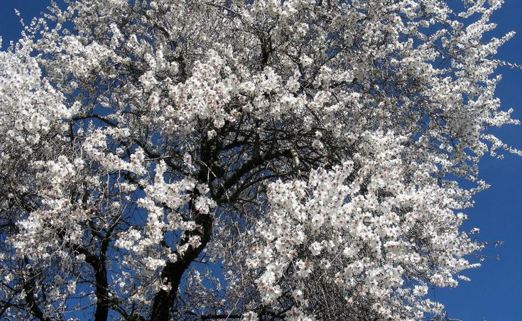 Un champ d'amandiers en fleurs à Alleins