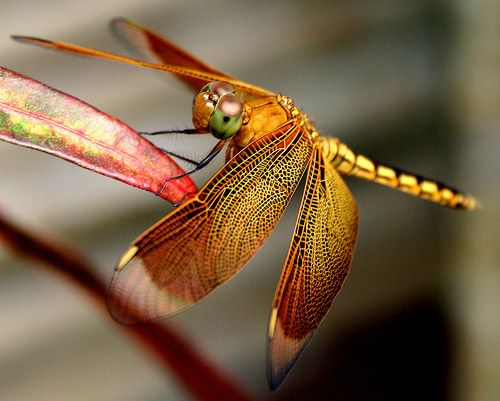 golden and russet dragonfly
