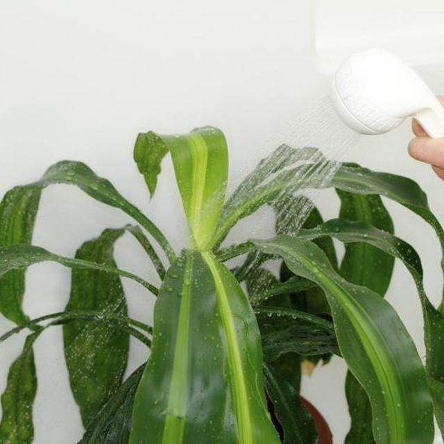 Showering the corn plant helps keep its leaves clean and free of dust.