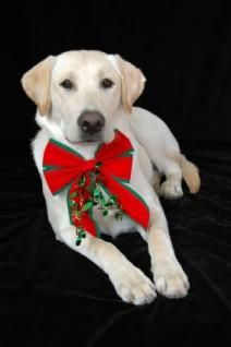 Christmas Cards with Dogs