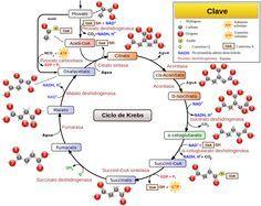 ciclo de Krebs, del ácido cítrico o de los ácidos tricarboxílicos