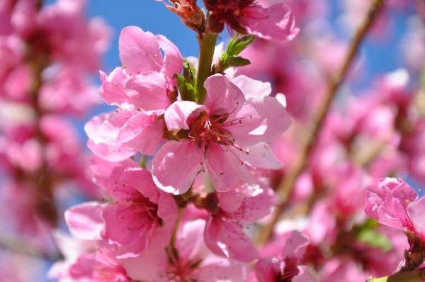 77 degrees today & a blooming peach tree (pic by @avenuehotelbnb) Like Springs Tourism on Facebook for more pics around Colorado Springs https://www.facebook.com/SpringsTourism and follow us on Twitter http://twitter.com/#!/springstourismColorado Spring