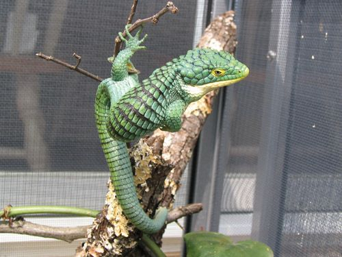 Dunno, but it's cool!  {Apparently an Arboreal Alligator Lizard species!} Endangered in the wild.