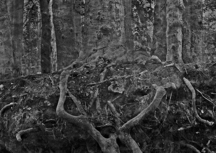 żywe drewno