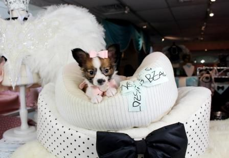 Papillon Teacup puppies for sale! We ship, very safe! Easy financing available!!! visit our website teacuppuppiesstore.com or call 954-353-7864.