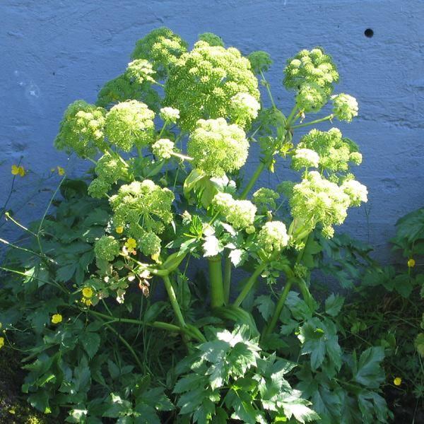 Kvan - Angelica archangelica.   Sået 8.2 - ude, placeret i drivhus. Spiret - ? Sået 8.2 - inde. Forsøg. Spiret - ?   Kvan er nem at frøformere. Dog mister frøene forholdsvis hurtigt spireevnen. Kvan er en 'kuldekimer', dvs at frøene kræver en kuldeperiode for at spire. Så dem derfor gerne ude efterår, vinter eller i det tidlige forår.Kvan er en toårig plante i skærmplantefamilien. Som andre toårige giver den det første år blot en bladplante - stor, grøn og frodig bliver den. På andetåret…