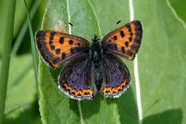 Starkt hotade fjärilar ska räddas med samarbetsprojekt | Natursidan