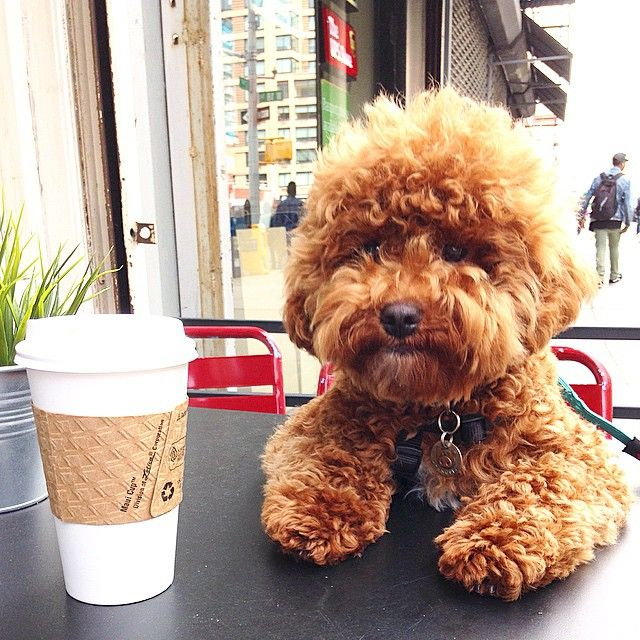 10 reasons you need a poodle crossbreed in your life RIGHT NOW
