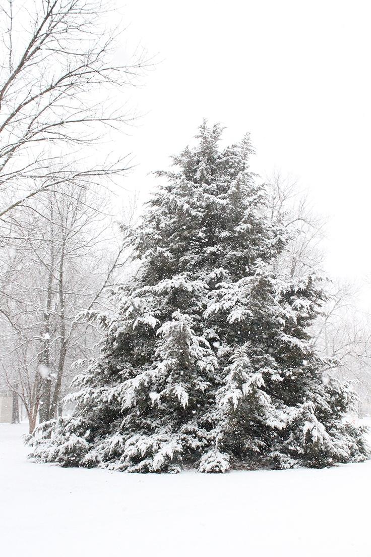 spruce tree snow - photo #8