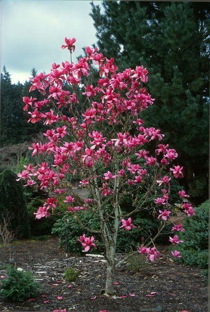 1000 images about magnolia on pinterest gardens trees. Black Bedroom Furniture Sets. Home Design Ideas