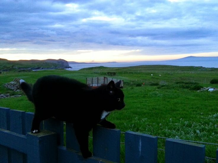 Cat at Ocraquoy looking up to Bressay