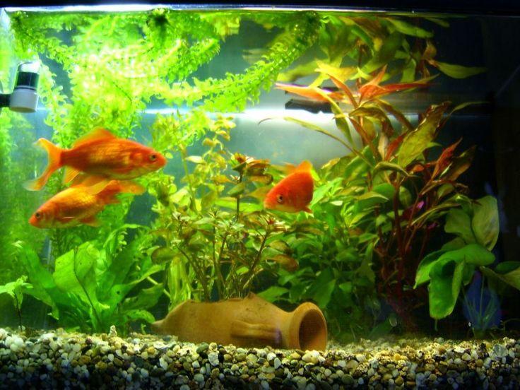 Acquario pesci rossi di a team animali tenerissimi for Acquario per pesci rossi