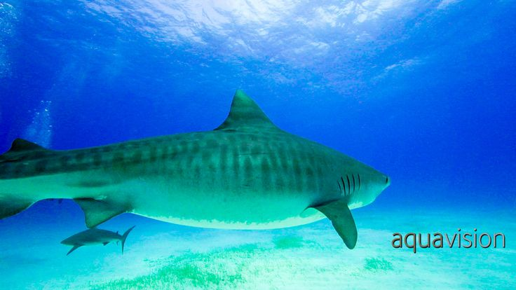 https://flic.kr/p/SkQzub | CPS140311_tiger005_13.jpg | Tiger sharks are named for the dark, vertical stripes found mainly on juveniles. As these sharks mature, the lines begin to fade and almost disappear.