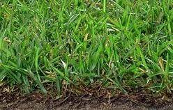 Centipede Grass Seed - http://marthastew1711.livejournal.com/7443.html