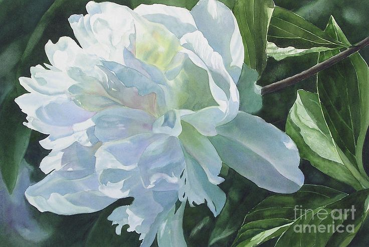 White Peony Painting by Sharon Freeman - White Peony Fine Art Prints and Posters for Sale