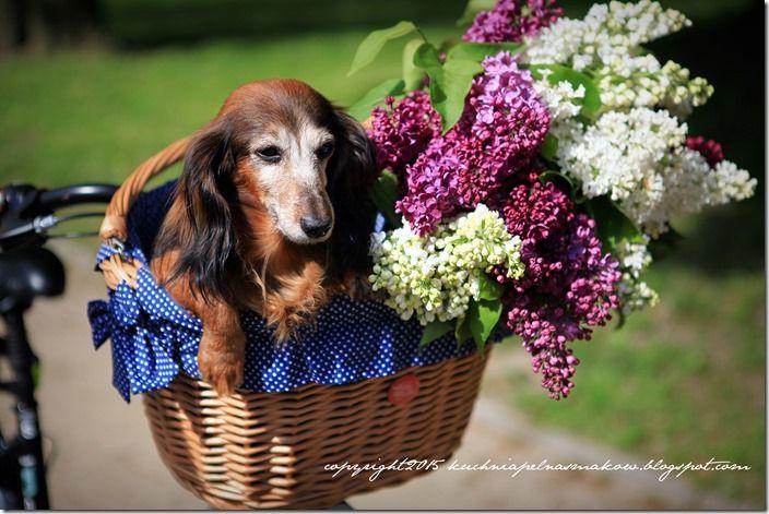 pies w koszyku (3)