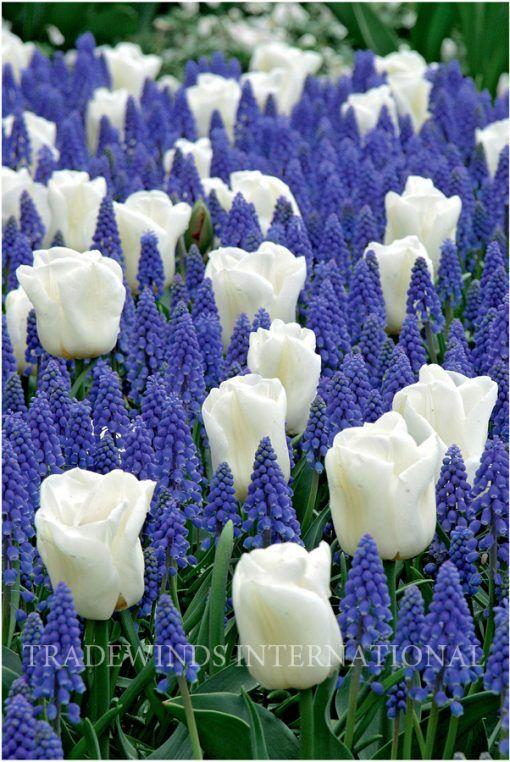 Grape Hyacinth and Tulips