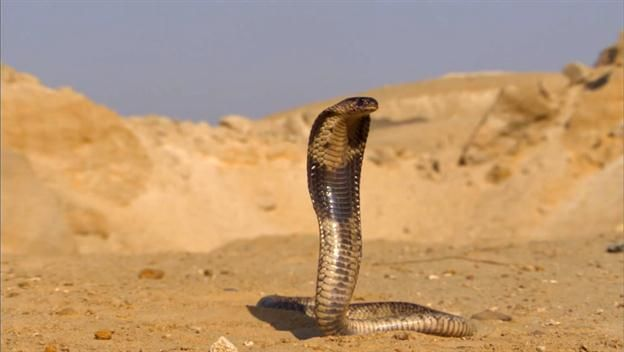 Legend has it that Cleopatra took her own life by succumbing willingly to the bite of a cobra. If this story is true, was suicide by snake venom an easy way to go, or did the last Egyptian pharaoh die in excruciating pain?