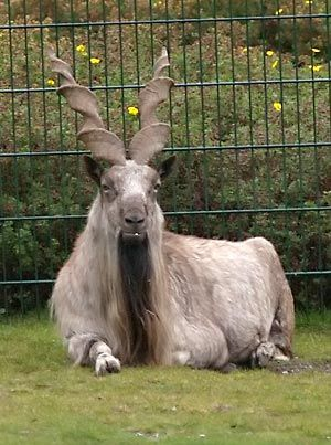 The markhor (Capra falconeri) is a large species of wild goat that is found in northeastern Afghanistan, Pakistan (Gilgit-Baltistan, northern and central Pakistan), some parts of Jammu and Kashmir, southern Tajikistan and southern Uzbekistan. The species is classed by the IUCN as Endangered, as there are fewer than 2,500 mature individuals and the numbers have continued to decline by an estimated 20% over two generations.[1] The markhor is the national animal of Pakistan.